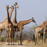 South Africa Giraffe Safari